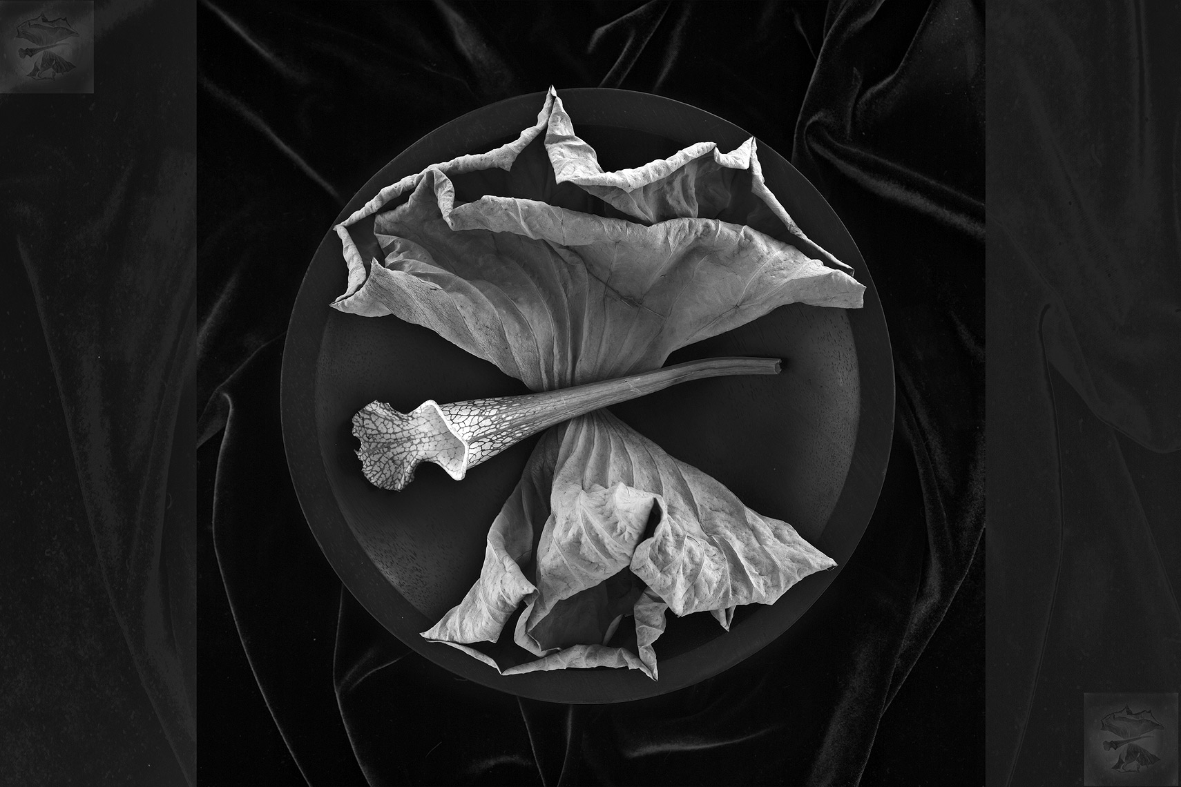 lotus_leaves_bw_200503
